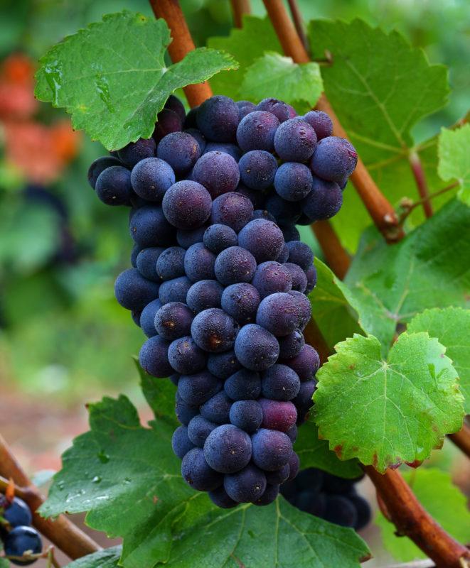 Pinot Noir Grapes