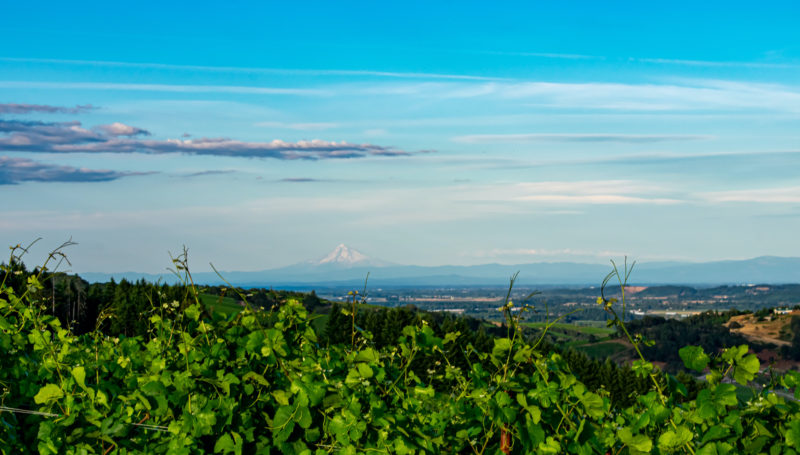 Looking across the Willamette Valley from an Oregon vineyard, grape vines flourishing in the foreground, and Mt. Hood in the distance.
